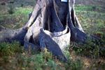 Detail of African Baobab
