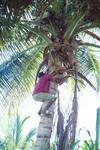 Man Climbing Coconut Tree