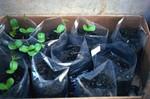 "Seedlings of ""Leucina"""