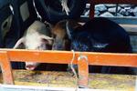 Livestock in Truck