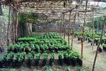 Cassava Plant Nursery