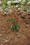 Leucina Plant
