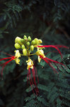 Yellow Bird of Paradise [Plant, Close Up]