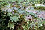Castor Oil Plant (1 of 2)