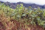 Castor Oil Plant (2 of 2)