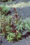 Vegetation on Pico do Fogo