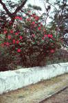 Hibiscus Tree in Nova Sintra