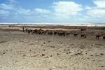 Goat Herding along the coast of Praia de Cabral