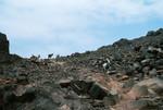 Goats at Praia de Cabral
