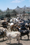 Farm with Goats and Cows on Journey across Boa Vista
