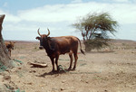 Cow, Donkey and Dog on Farm on Journey across Boa Vista