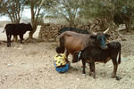 Young Boy and Cattle