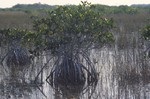 Everglades: Mangrove Tree