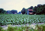 North Carolina: Tobacco Crop and Barns