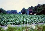 North Carolina: Tobacco Crop and Barns